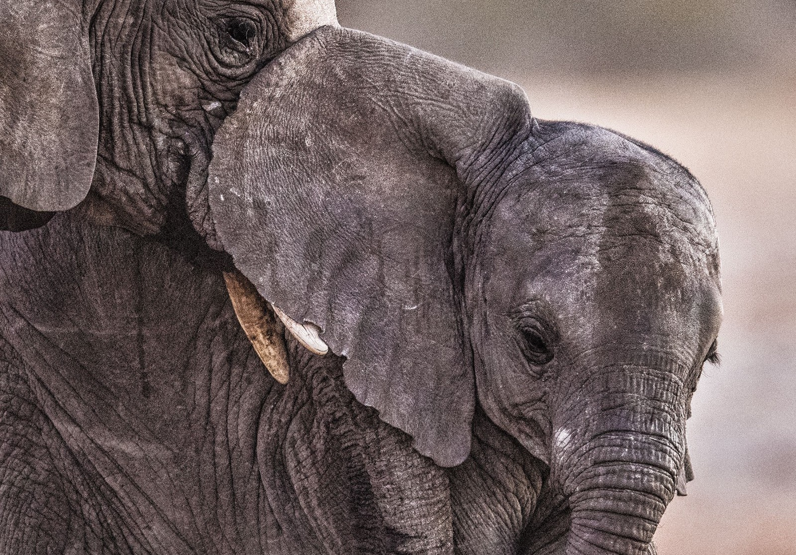 How Elephants Establish Who Is in Charge