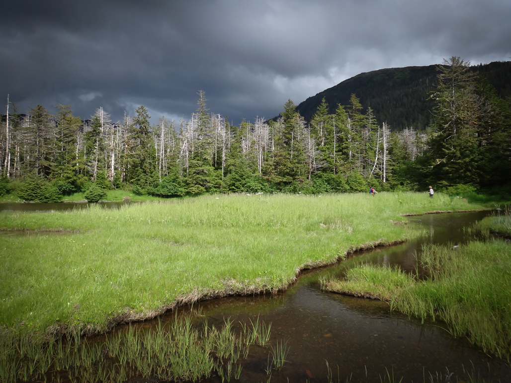 How Alaskans Are Adapting to the Death of the Yellow Cedars