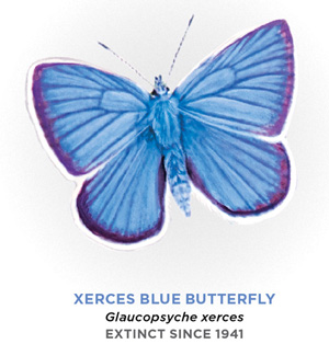 A drawing of the Xerces butterfly. It has a moth-like body with blue wings which are tipped with purple and then white.