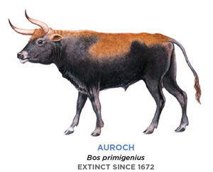 A drawing of the Auroch. It looks like a large cow with an especially long tail and a more rounded face. Its body is mostly black, with a shade of orange spread across its back and head.