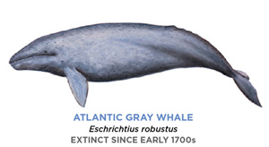 A drawing of the Atlantic gray whale. It is a poorly defined, mono-shade creature whose form resembles that of a blue whale.