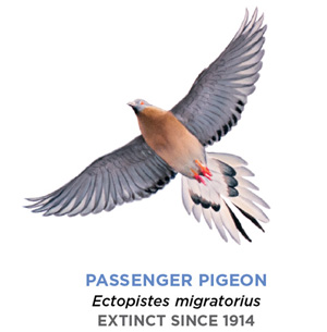 A drawing of a passenger pigeon. It looks similar to a modern pigeon, though its eyes and feet are bright red. In addition, its chest is hazel, and its feathers slightly whiter than those of a normal pigeon.