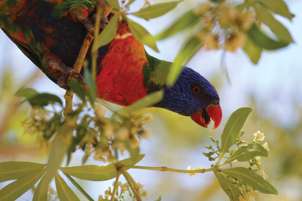 BRIGHT-EYED: Sila, a biology major, snapped a photo of a rainbow lorikeet after class in Cairns in 2017.