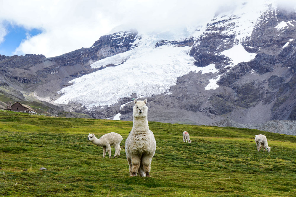 A group of alpacas eating grass underneath snow covered mountains.