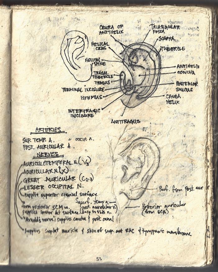 Sheryl Lewin's journal drawing of ears