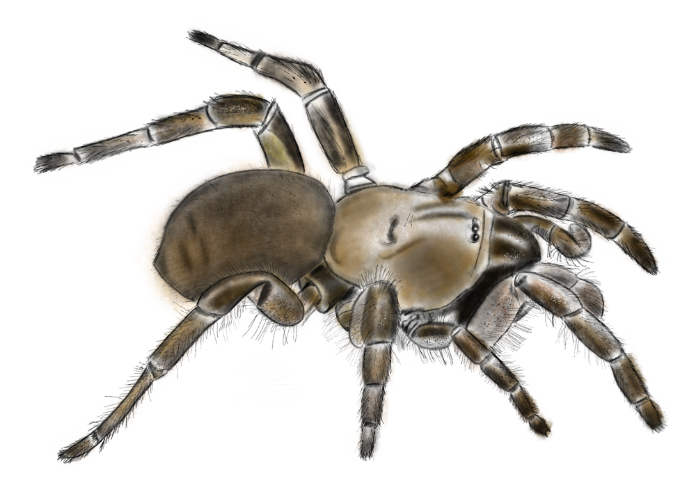 An illustration of a Stanford Hills trapdoor spider