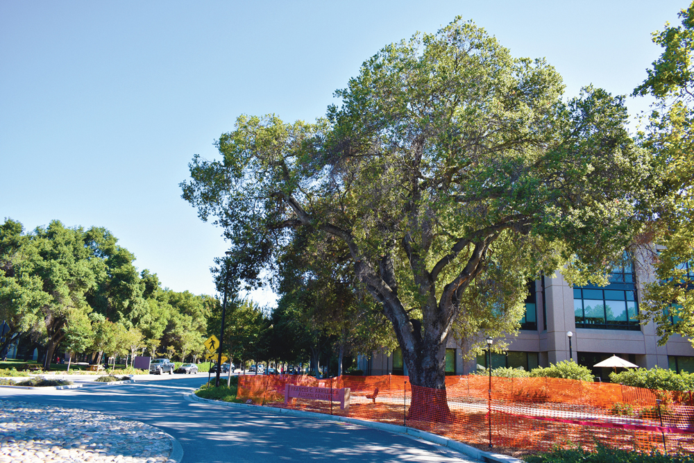 Gordon Hampton oak tree surrounded by orange construction fencing