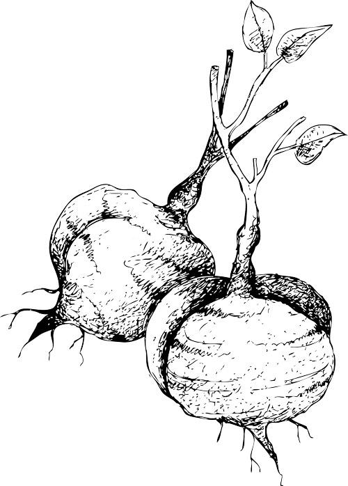 Illustration of a jicama.