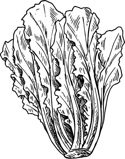 Illustration of romaine lettuce.